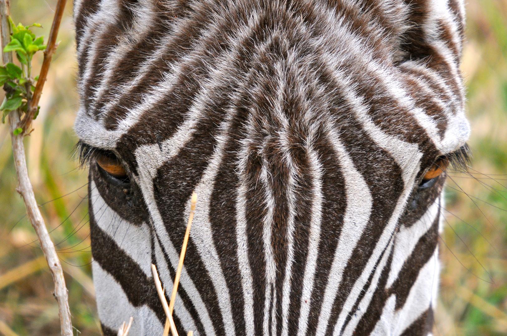 Zebra Kenia ( Tsavo West )