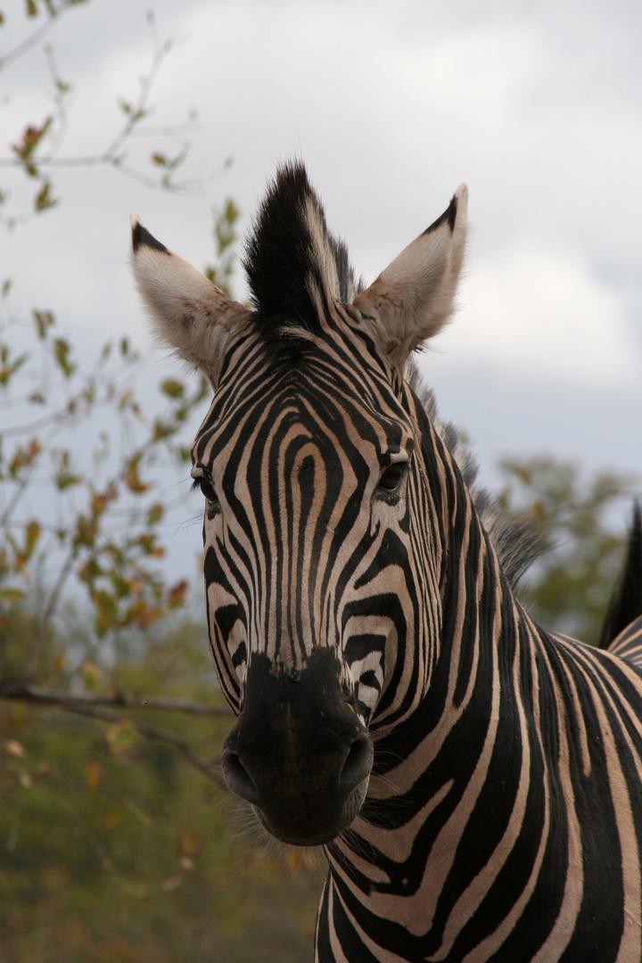 Zebra Kopf