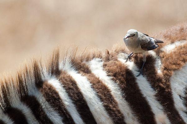 Zebra mit kleinem Freund