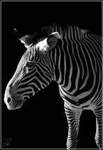 Zebra mit Smaragtgrünem Auge... SELTEN !!!