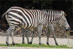 Zebra morgana...