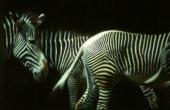 Zebra Nanu ?