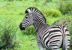 Zebra oder Punk