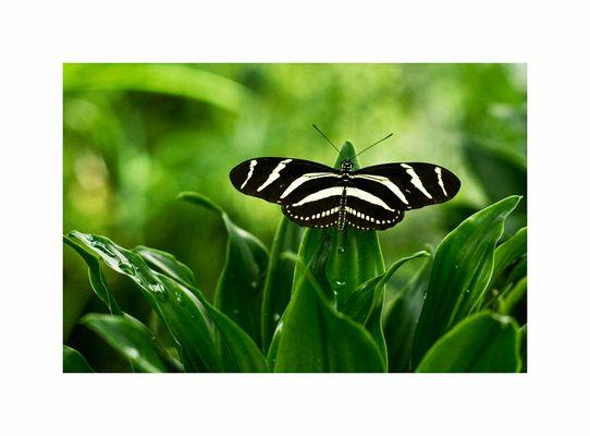 Zebra oder Schmetterling?