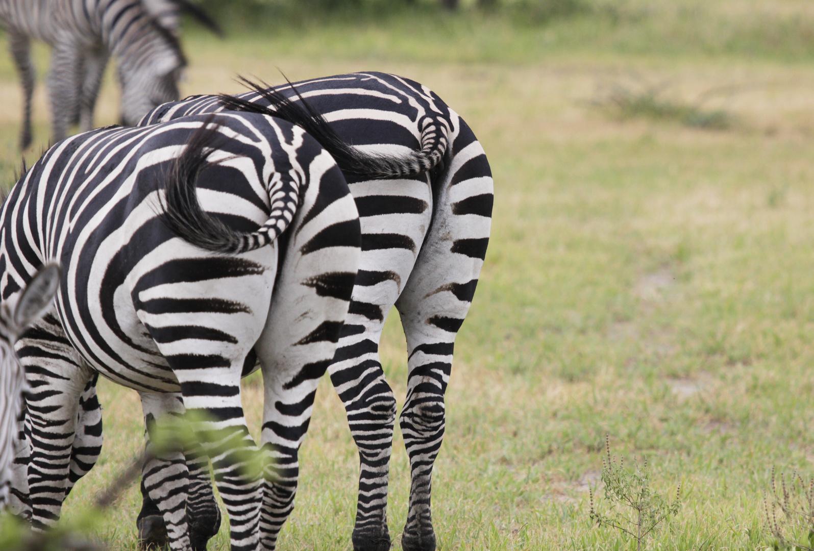 Zebra Popos