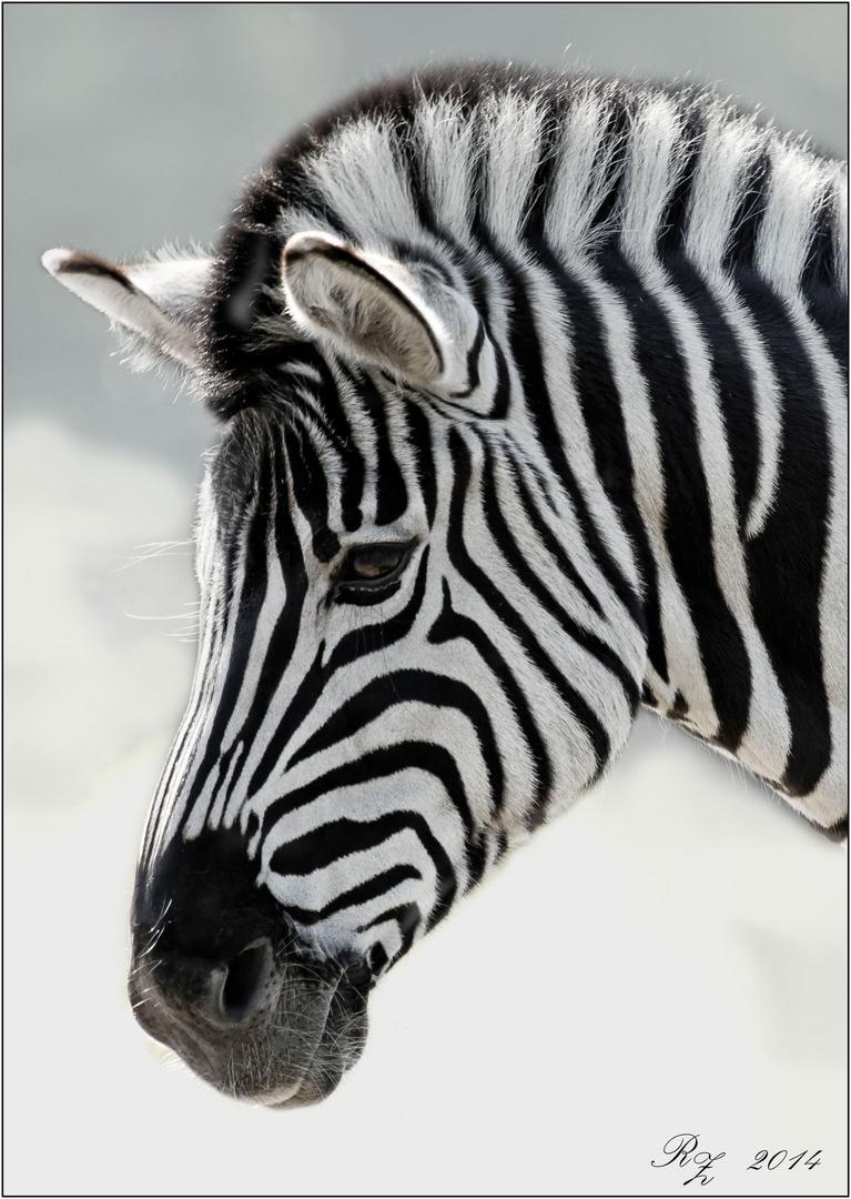Zebra - Portrait