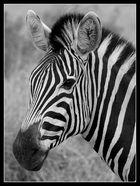 Zebra-Portrait