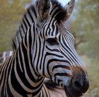 Zebra Potrait