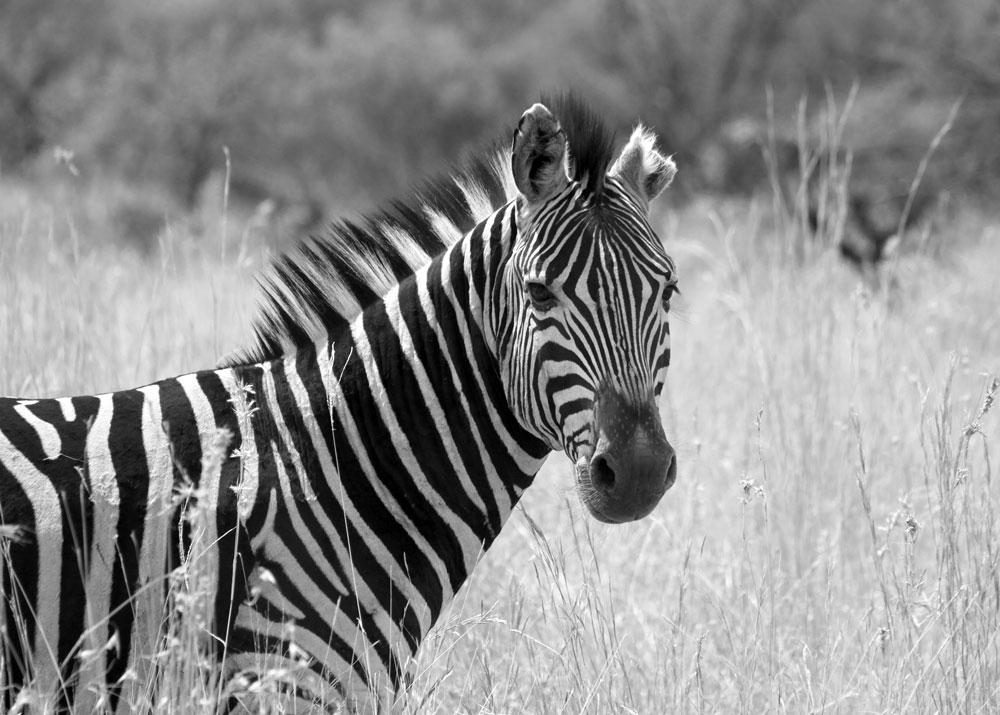 Zebra schaut mich an