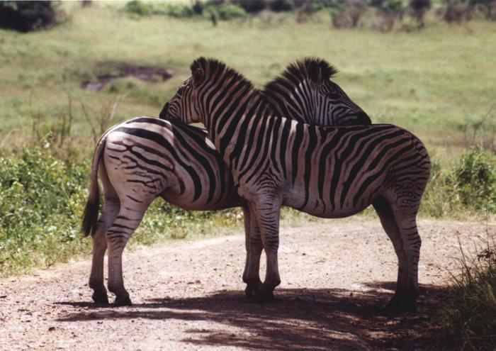 Zebra Schmusen
