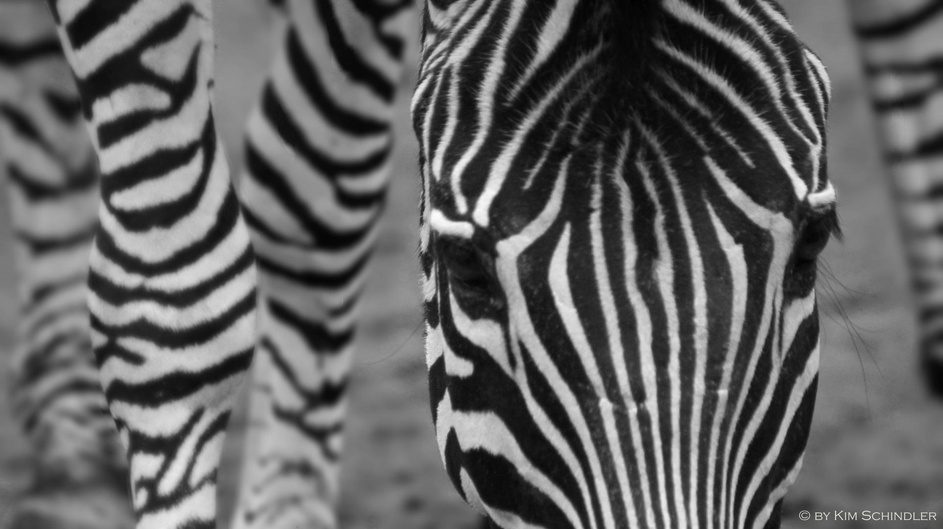 Zebra, Schwarz-Weiß