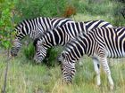 Zebra Show