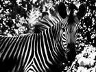 zebra-streifen ...