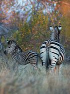 Zebra Stute mit Fohlen