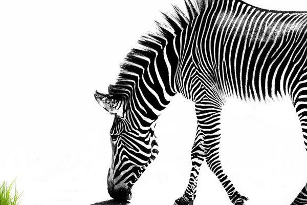 Zebra sucht Farbe im Leben