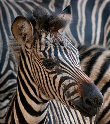 zebra vor zebra
