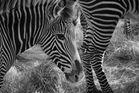 Zebra Zoo Nürnberg