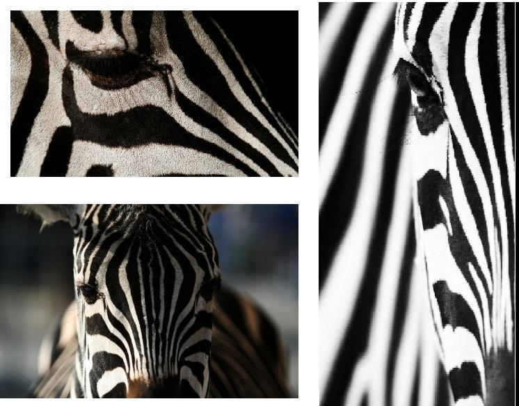 Zebra-Zusammenschnit...