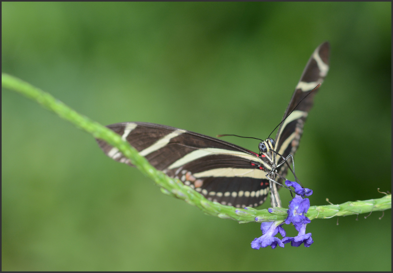 Zebrafalter (Heliconius charithonia)