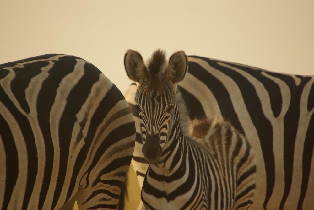 Zebrafamilie