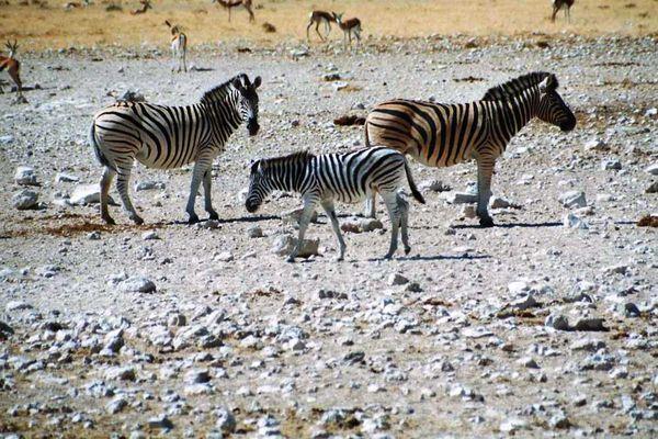 Zebrafamilie am Wasserloch