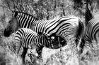 Zebrafamilie in Afrika