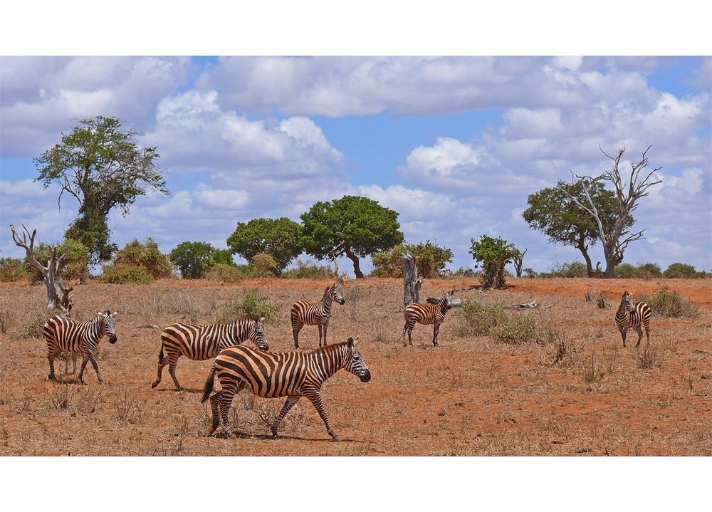 Zebrafamilie in Tsavo Ost