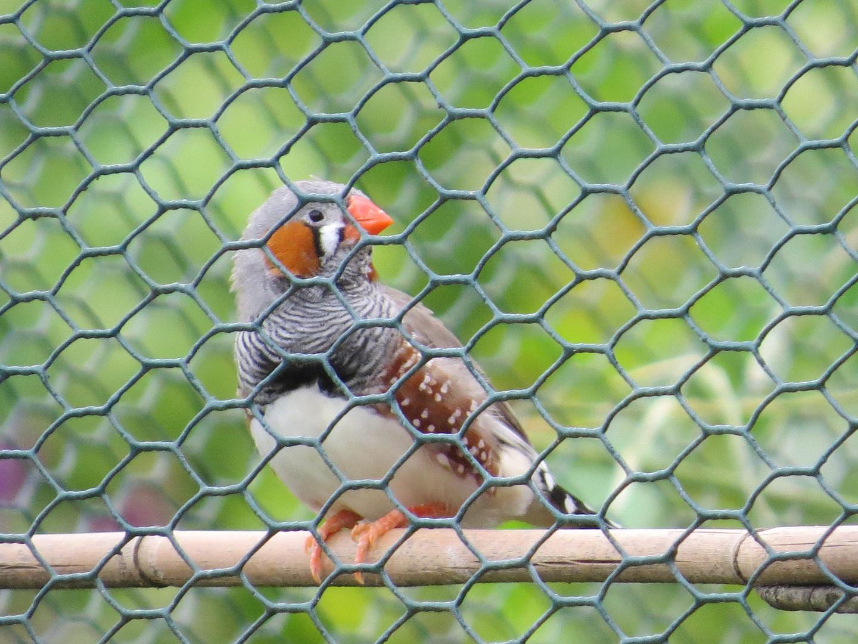 Zebrafink in Nachbars Voliere