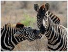 Zebraflüsterer