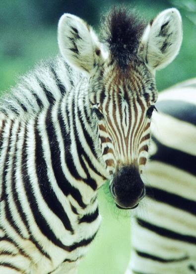 Zebrafohlen - Krueger National Park