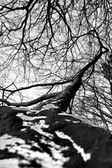 zebragiraffenhalsbaum