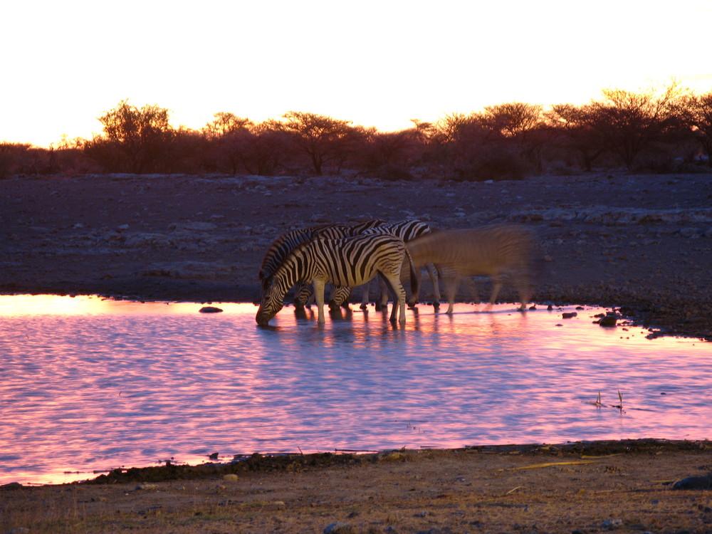 Zebraherde an Wasserloch im Sonnenuntergang in Namibia