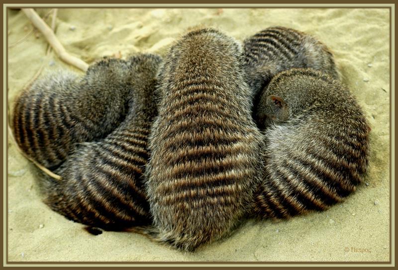 zebramangustengruppenbild