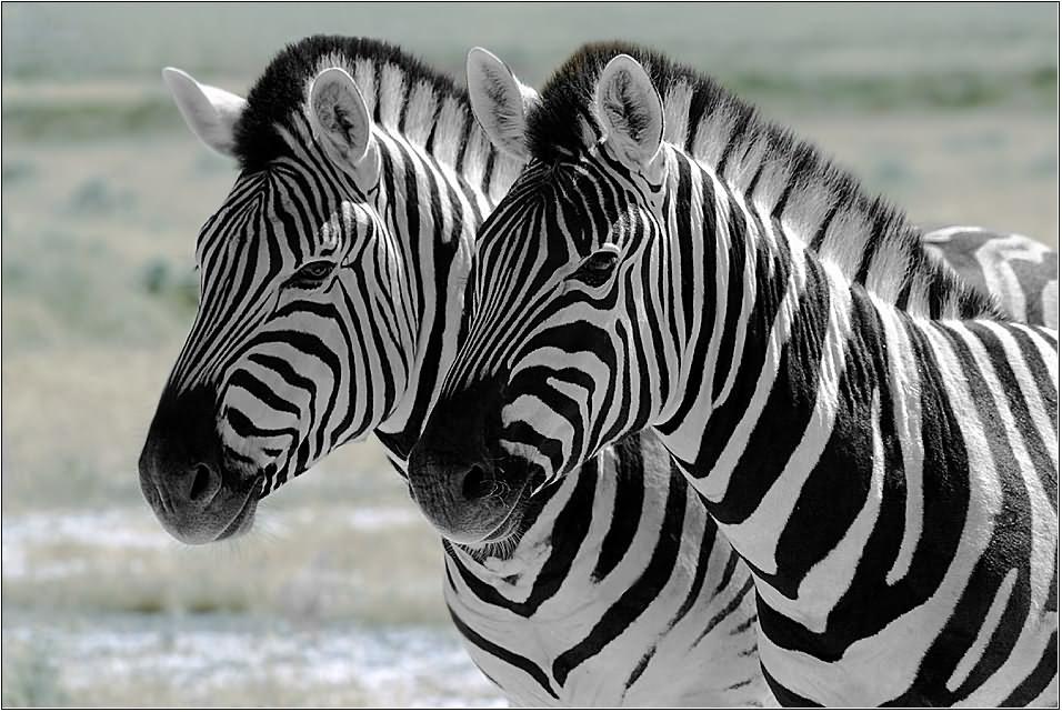 Zebras 02