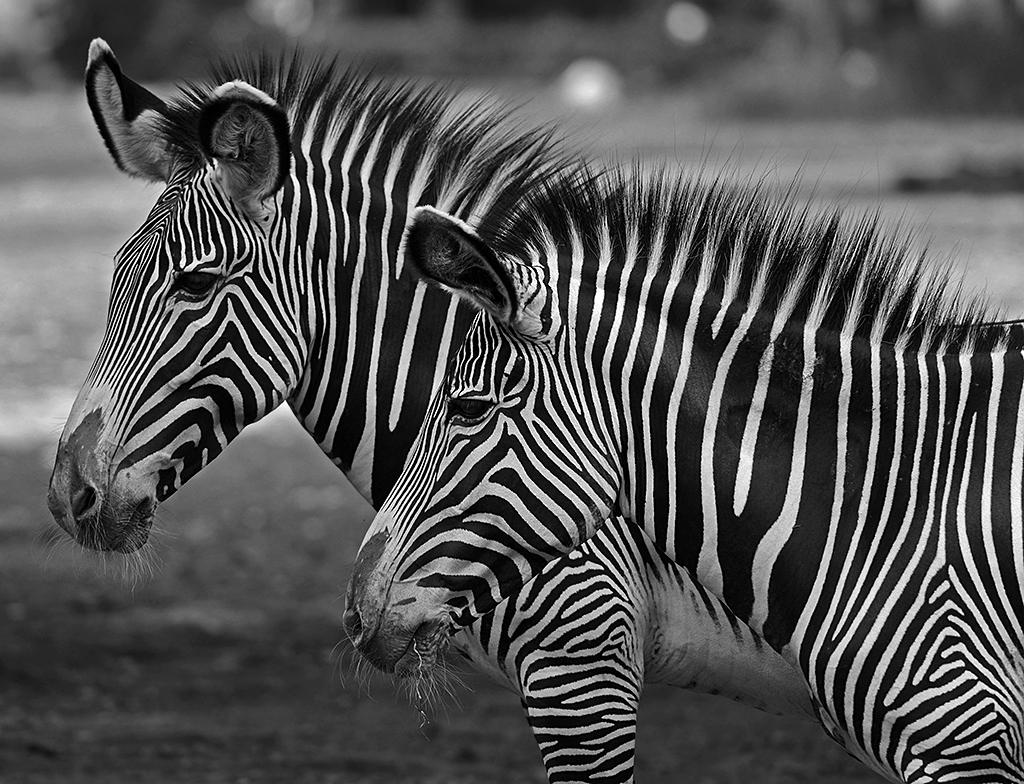 Zebras ...