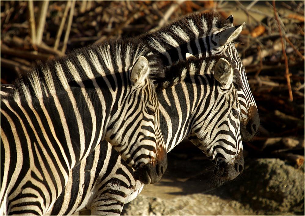 Zebras.......
