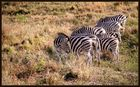 - Zebras am Morgen -