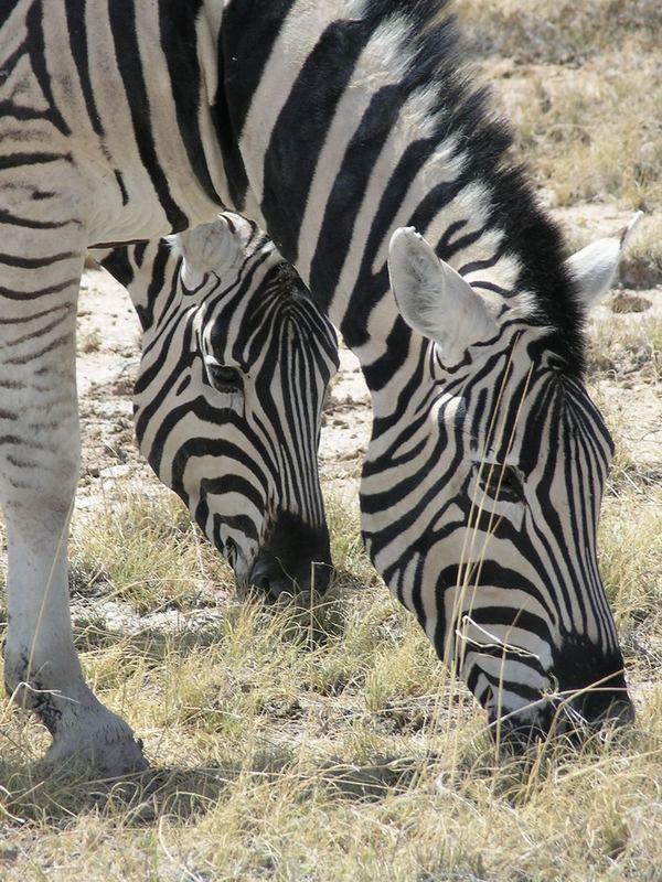 Zebras beim Grasen