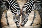 Zebra(s)