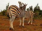 Zebras im Addo Nationalpark in Südafrika