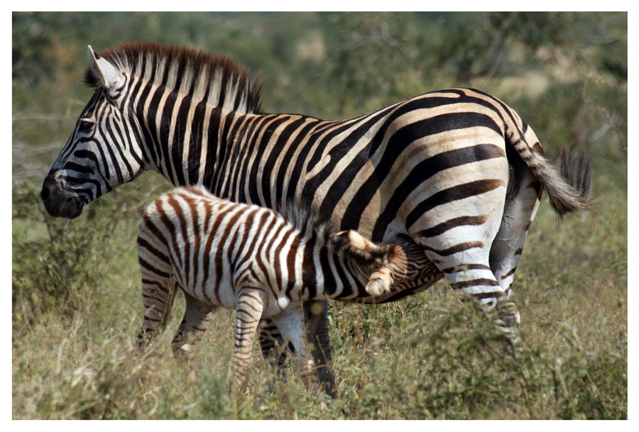 Zebras im Busch
