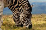 Zebras im Duett