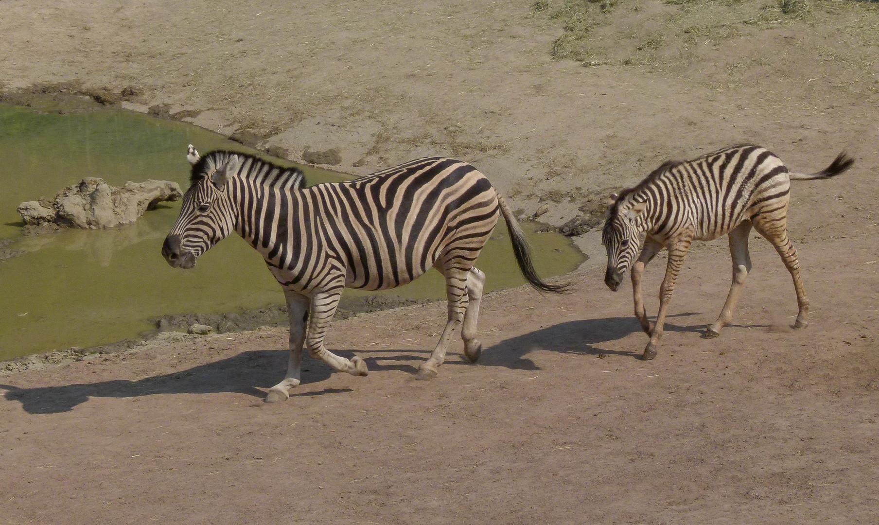 Zebras im Gaia-Park NL