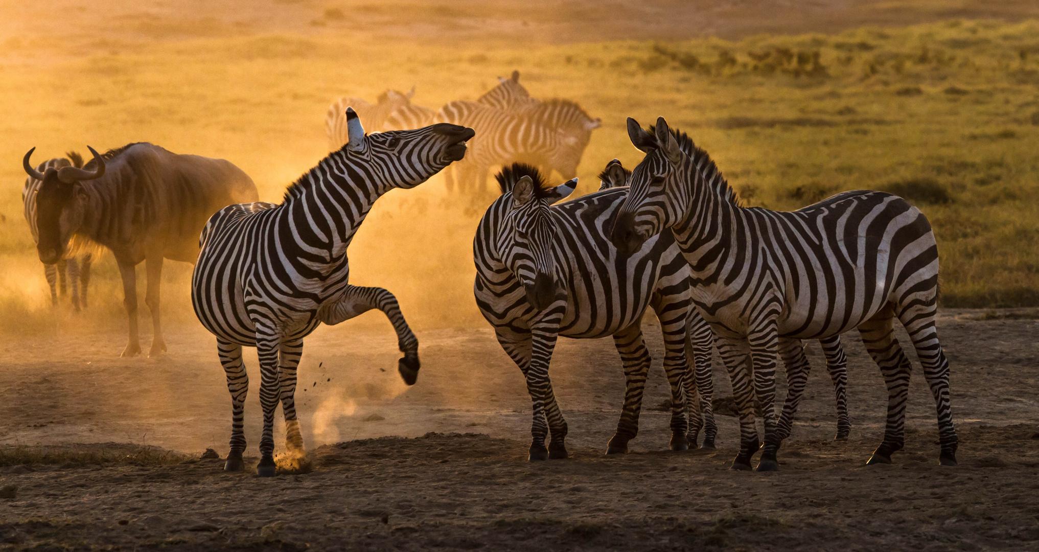 Zebras im Gegenlicht bei Sonnenuntergang