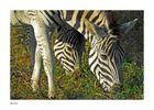 Zebras im Hluhluwe Nationalpark (SA)
