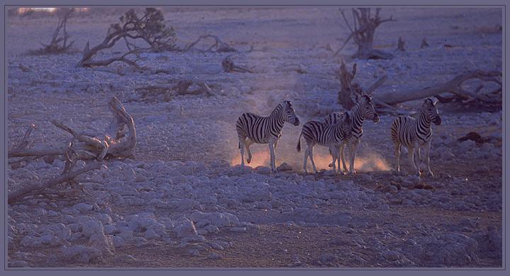 Zebras im letzten Abendlicht