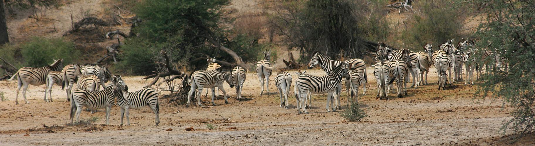 Zebras im Makgadikgadi National Park