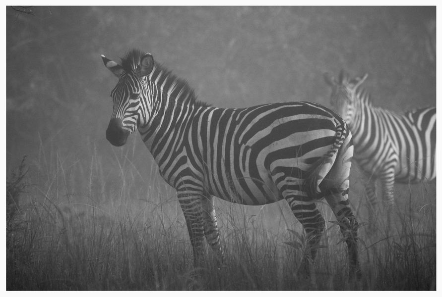 Zebras im Morgennebel