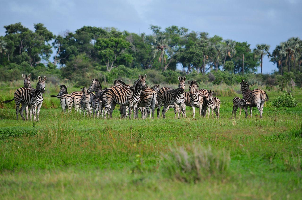 Zebras im Okawango