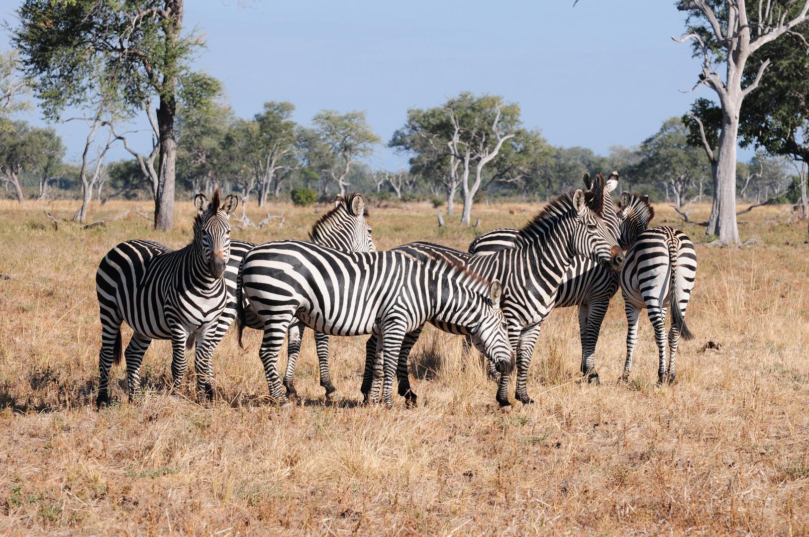 Zebras im South Luangwa NP
